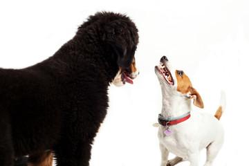 Due cani che giocano su sfondo bianco