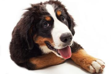 Cucciolo di cane di bovaro del bernese