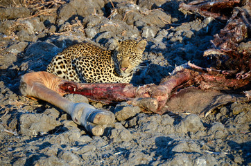 Leopard with a Thornicroft giraffe carcass