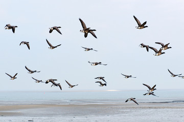 Swarm Brent gooses above the wadden sea