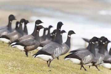 Swarm Brent gooses