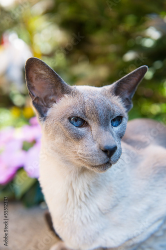 Siamese blue point cat