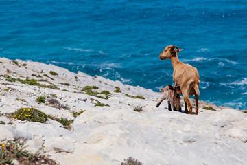 Ziege säugt Kitz über dem Meer