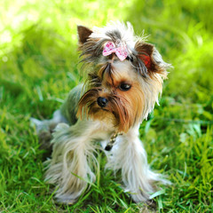 Yorkshire terrier in a grass
