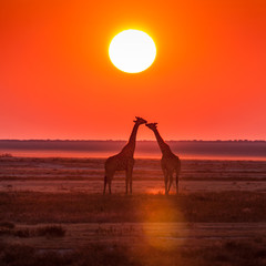 giraffe kiss sunset
