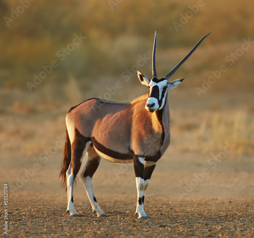 Gemsbok in the desert
