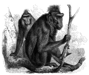 Monkeys : Cynopithecus - Macaque -  Affe