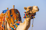 The muzzle of the African camel