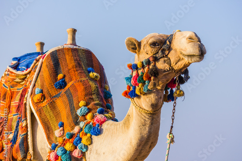 Foto op Canvas Kameel The muzzle of the African camel