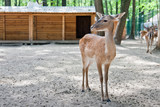 Young doe in the zoo