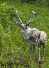 Adult reindeer against green environment in Lapland during summe