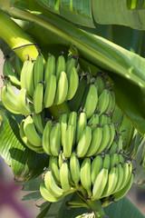 Gree Bananas