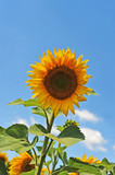 Beautiful sunflower (Helianthus) and blue sky