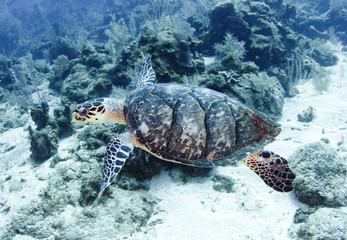 pacific green turtle swimming on great barrier reef, cairns, aus