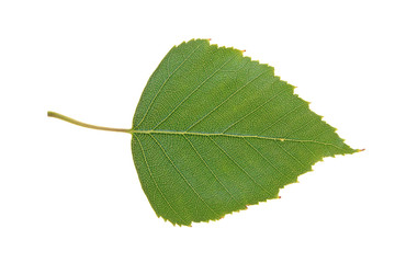 Green leaf of Birch isolated on white