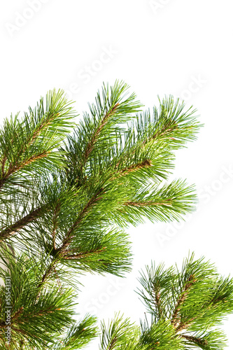 Macro photo of pine tree branch isolated on white