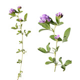 Alfalfa isolated on white