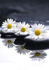 Still life with Set of three daisy with stones