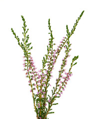 heather isolated on white backrgound