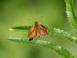 Бабочка-толстоголовка