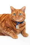 Portrait of a Fat, Orange Tabby Cat