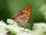 Бабочка-перламутровка