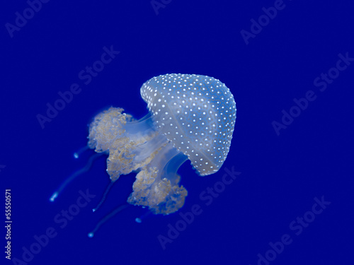 Jellyfish swimming