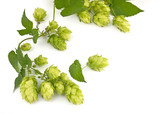 hop cones isolated