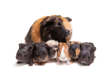 Mother Guinea Pig and her six babies
