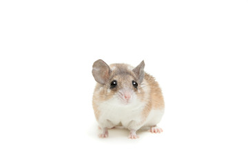 Eastern or arabian spiny mouse (Acomys dimidiatus)