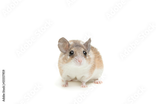 Eastern or arabian spiny mouse (Acomys dimidiatus)