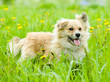 mixed breed dog in flower field of yellow dandelions