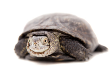 The European pond terrapin isolated on white (Emys orbicularis)
