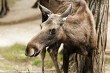 The moose (North America) or Eurasian elk (Europe)