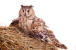 Long-eared Owl nesting isolated on the white background
