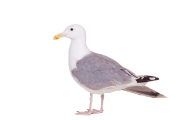 European Herring Gull, (Larus argentatus), 2 years old