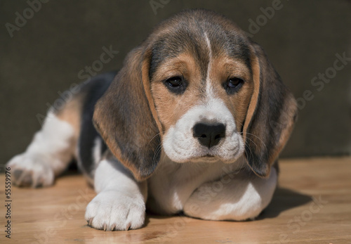 Sweet Beagle puppy looking