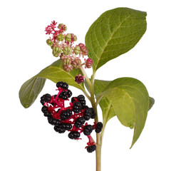 pokeweed with ripe berries and leaves isolated