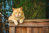 Red Cat Sitting On The Fence