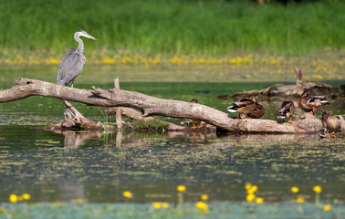 Gray heron and wild duck standing on a tree in water