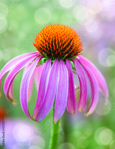 Echinacea flower on natural green background
