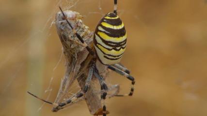 yellow spider aurantia bruennichi eating dead grasshopper