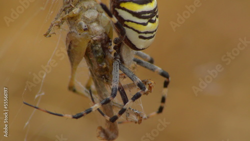 yellow spider aurantia bruennichi eating grasshopper