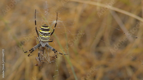yellow spider aurantia bruennichi in web with prey
