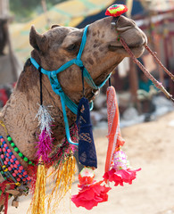 Decorated camel at the Pushkar fair. Rajasthan, India, Asia