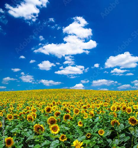 Fototapeten,himmel,sonnenblume,blau,feld