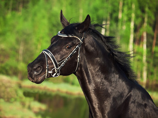 portrait of beautiful black horse