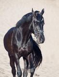 Walking beautiful black stallion in the desert