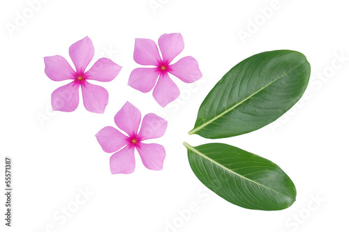 periwinkle flower and leaf