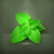 Fresh mint leaves, vector illustration